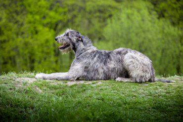 grootste hondenras