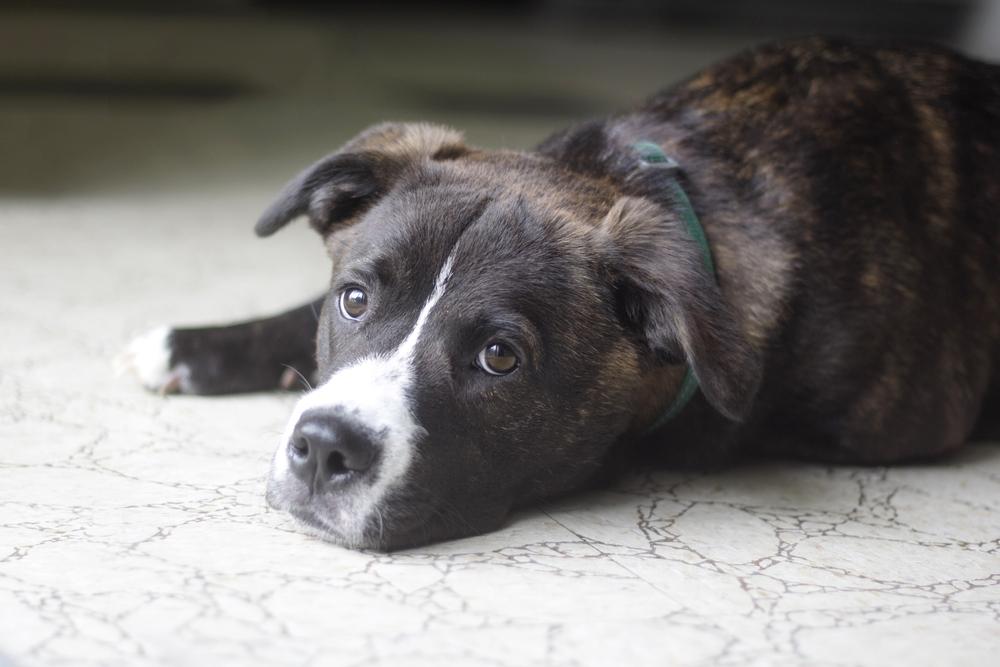 10 Populaire Honden Kruisingen Dieren Rubriek