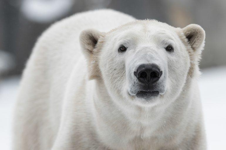 ijsbeer bedreigd