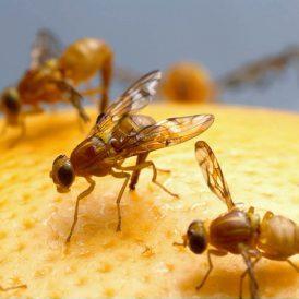 fruitvliegjes oplossingen