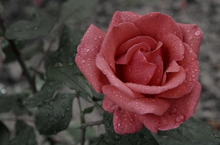 roos eetbaar